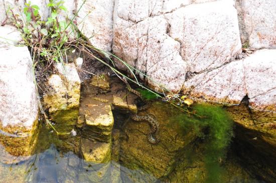 Sardinian river snake