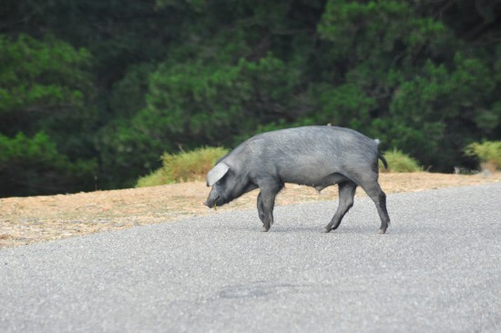 wild house pigs on the street