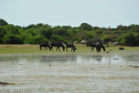 giara horses